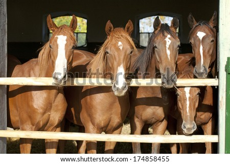 Young and beautiful horses in a stable Nice thoroughbred foals in stable. Horses in the barn.  - stock photo