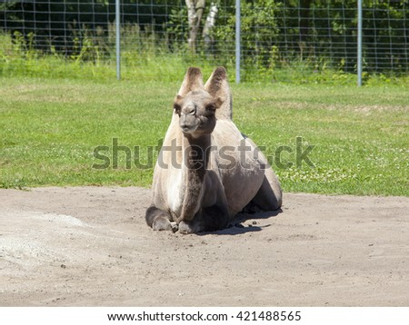 young and fanny camel in the zoo - stock photo