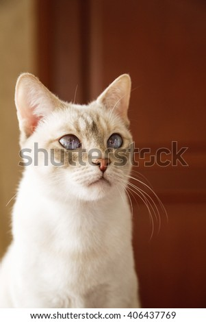 Young and graceful Mekong cat's indoors portrait  - stock photo