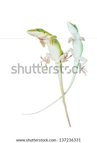 Young and old male lizards Carolina anoles (Anolis carolinensis) on the glass