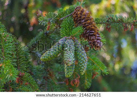 Young and old pinecone - stock photo