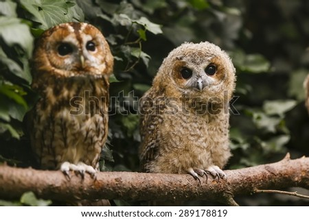 young and old tawny owl  - stock photo