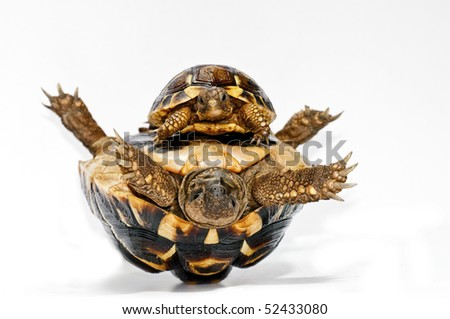 Young and old tortoise - stock photo