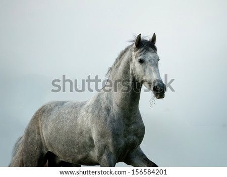 young andalusian stallion - stock photo