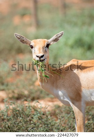 Young antilope eating in national park. - stock photo