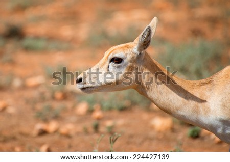 Young antilope walking in national park. - stock photo
