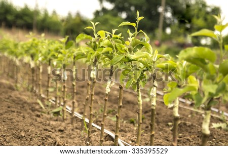 Young apple trees in the nursery - stock photo