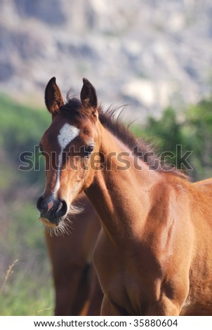 young arabian foal on pasture in mountains - stock photo
