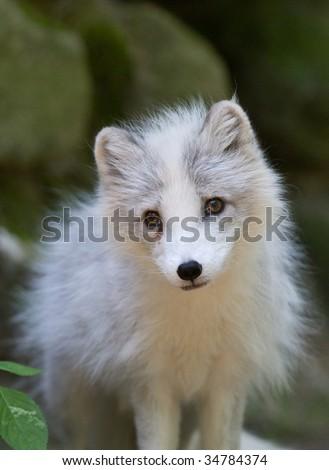 Young Arctic Fox - stock photo