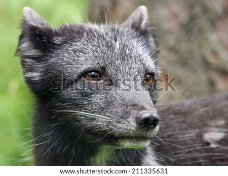 Young Arctic Fox - Vulpes lagopus, Close-up view - stock photo