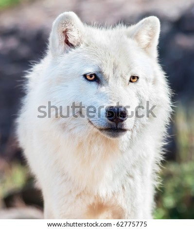Young Arctic Wolf Close-Up - stock photo