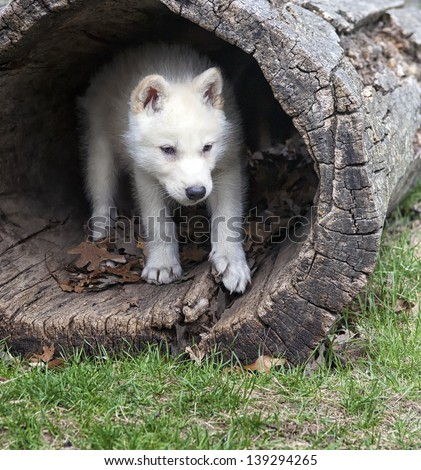 Young arctic wolf pup seeks shelter in a hollowed log stock photo