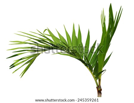 Young Areca catechu palm tree isolated on white background - stock photo