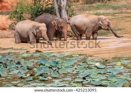Young Asian elephants bathing at  Village elephants in Thailand - stock photo