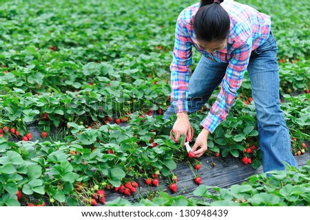 young asian woman harvest strawberry in field - stock photo