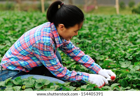 young asian woman picking strawberry at field - stock photo