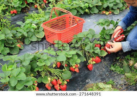 young asian woman picking strawberry in garden - stock photo