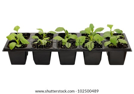Young aster flower seedlings isolated on white background - stock photo