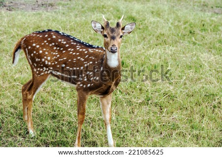 Young Axis deer buck with early antlers in grassland - stock photo