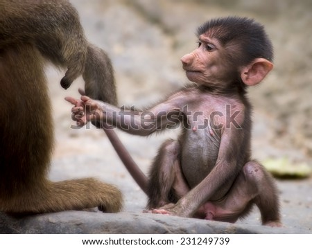 Young baboon holding on to it's mothers hand - stock photo