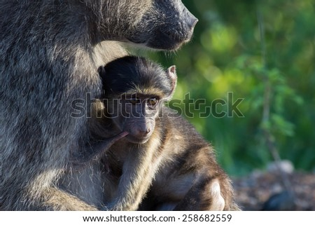 Young Baboon Suckling from its mother - stock photo