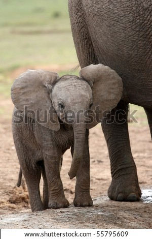 Young baby African elephant standing next to it's mother - stock photo