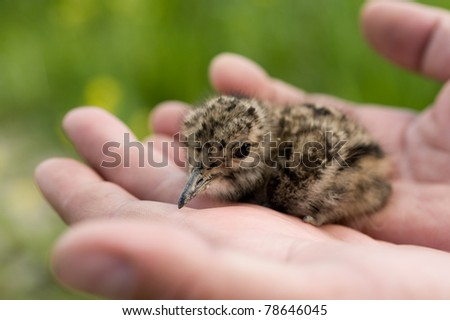 Young baby bird of a lapwing - stock photo