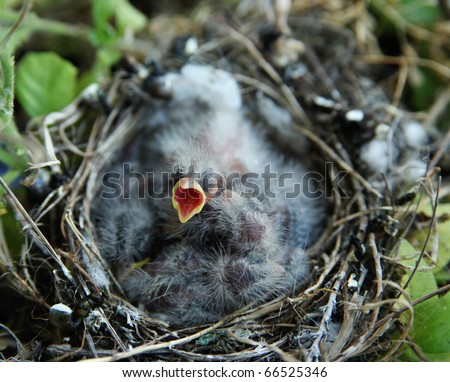 Young baby bird opening mouth for food, lying on top of other sibling baby birds in a nest. - stock photo