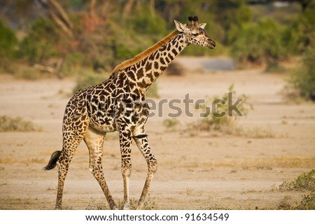 Young, baby giraffe in the wilds of Tanzania
