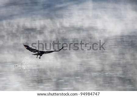 Young bald eagle snatching a fish - stock photo