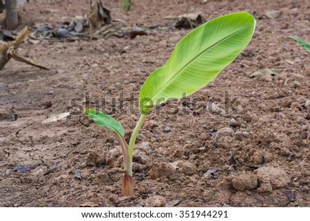 young banana tree - stock photo