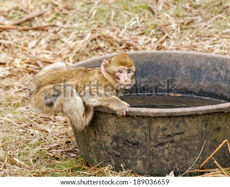 Young Barbary Macaque in open field at monkey forest zoo attempting to drink water from a large tub. Trentham zoo, Stoke on Trent, Staffordshire England, United Kingdom, Europe.  - stock photo