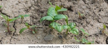 young basil plant in the ground - stock photo