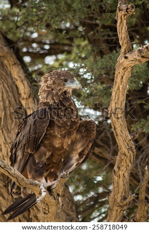 Young Bateleur - stock photo