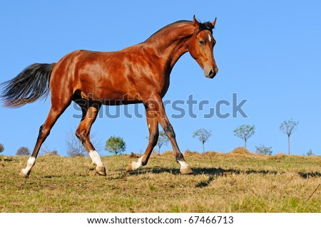 Young bay stallion in paddock - stock photo