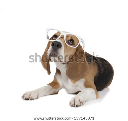 young beagle - stock photo