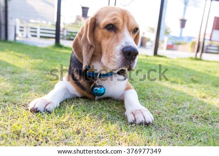 Young beagle dog lay down on the garden