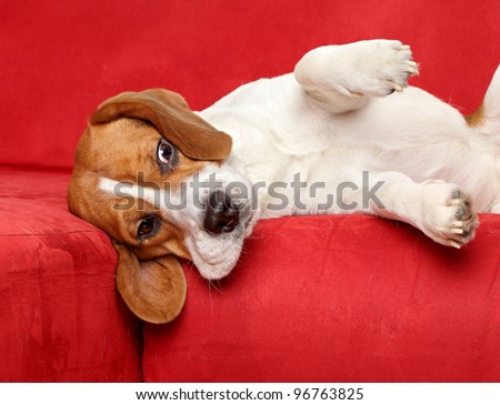 Young Beagle dog posing on red sofa - stock photo