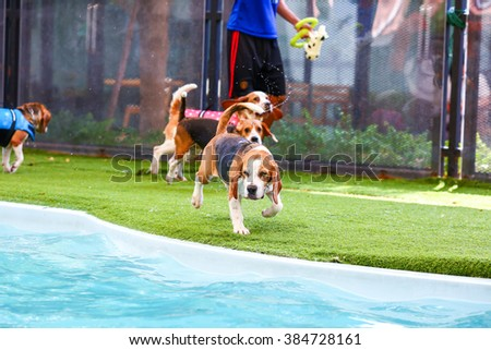 Young beagle dog preparing for jump to the swimming pool - stock photo