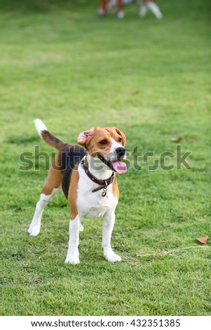 Young beagle dog standing smart in the garden