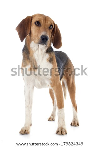 young Beagle Harrier in front of white background
