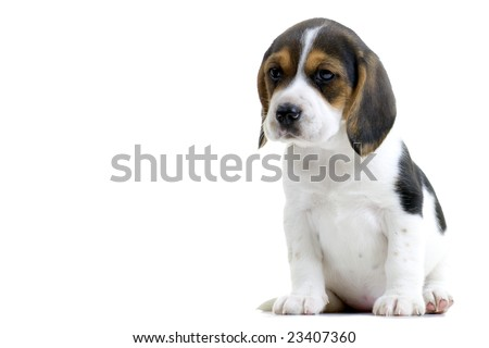 Young beagle puppy. Isolated on white background.