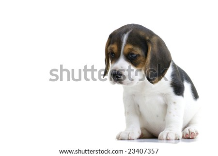 Young beagle puppy sitting. Isolated on white background. - stock photo