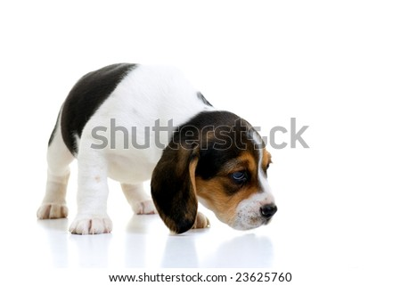 Young beagle puppy sniffing. Isolated on white with a reflective shadow. - stock photo