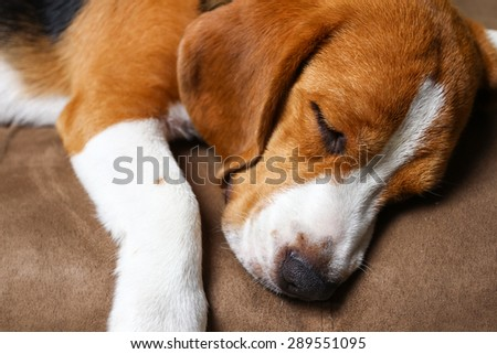 Young beagle sleep on pillow. - stock photo