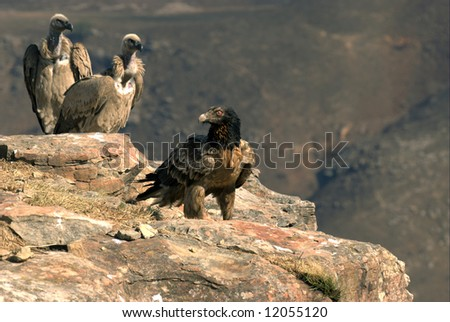 Young Bearded Vulture and a pair of Cape Vultures, South Africa - stock photo