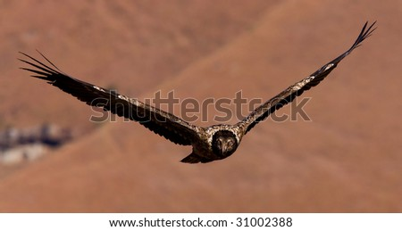 young bearded vulture flying - stock photo