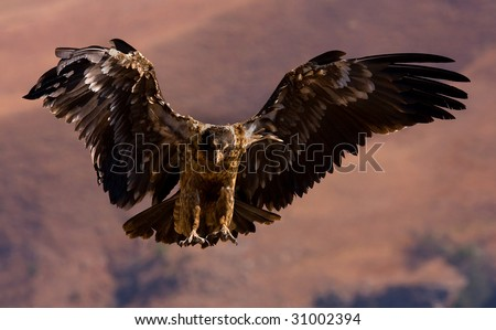young bearded vulture landing - stock photo