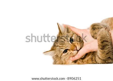 young beaufiful cat is laying down on a white background hugging the hand.