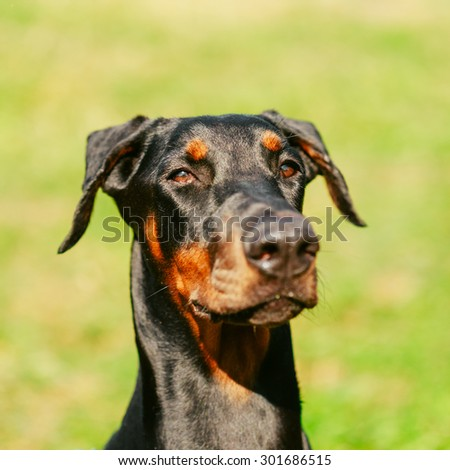 Young, Beautiful, Black And Tan Doberman Close Up. Dobermann Is A Breed Known For Being Intelligent, Alert, And Loyal Companion Dogs. - stock photo